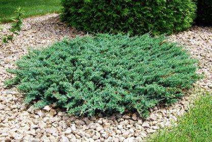 Ялівець горизонтальний Андора компакт  Juniperus horizontalis Andorra Compact  Ціна вказана за 10 саджанців