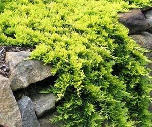 Ялівець горизонтальний Голден Карпет Juniperus horizontalis Golden Carpet