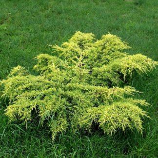 Ялівець середній Олд Голд Juniperus x media  OLD  Gold