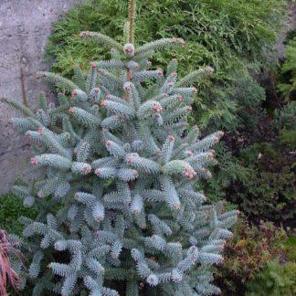Ялиця каліфорнійська блакитна Abies concolor glauca