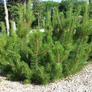 Сосна гірська Ротундата Pinus mugo var. Rotundata