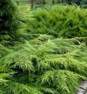 Ялівець середній пфіціріана Juniperus x pfitzeriana