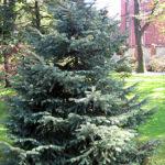 265px-Picea_engelmannii_01