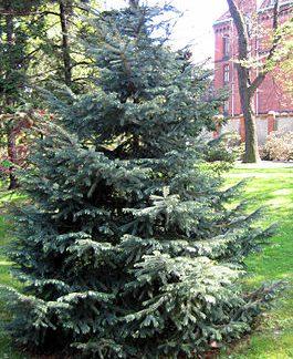 Ялина блакитна Енгельмана Picea engelmannii Engelm
