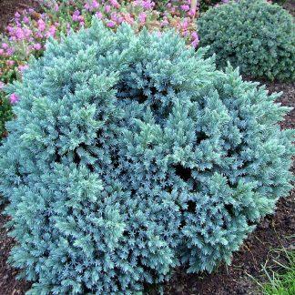 Ялівець лускатний  Блю Стар Juniperus squamata 'Blue Star'