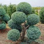 chamaecyparis-pisifera-boulevard-bonsai