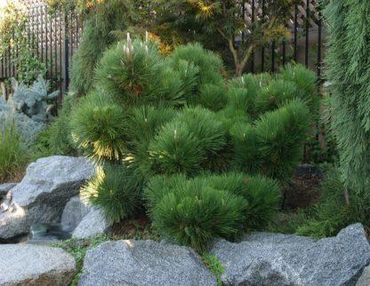 Сосна тунберга Pinus thunbergii