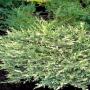 mozhzhevelnik-gorizontalnyj-andorra-variegata-01