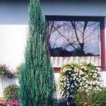 Можжевельник-скальный-Juniperus-scopulorum-Skyrocket