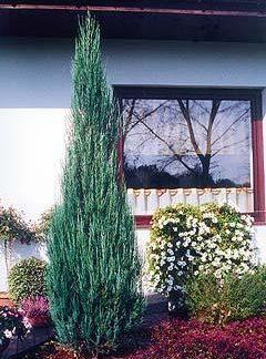 """Ялівець скальний  """"Скайрокетт"""" Juniperus scopulorum 'Skyrocket'"""