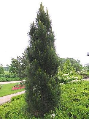 Сосна чорна пірамідаліс Pinus nigra pyramidalis