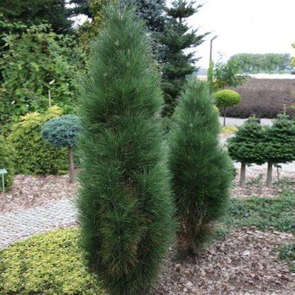 Сосна чорна пірамідаліс Pinus nigra pyramidalis Ціна за 10 саджанців