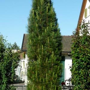 Pinus-nigra-Pyramidalis_7