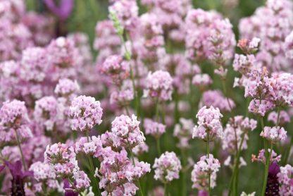 Лаванда вузьколиста розова Lavandula angustifolia Rosea