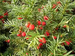Тис ягодный Taxus Baccata Цена за 10 саженцев