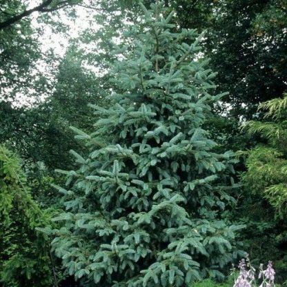 NEW! Ель шероховатая(Ель драконова) Picea asperata Dragon Spruce
