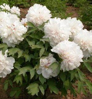 Піон деревовидний Вайт Paeоnia suffruticоsa WHITE