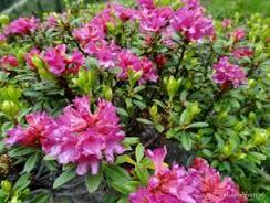 Рододендрон альпійська троянда Rhododendron ferrugineum Alpine Rose
