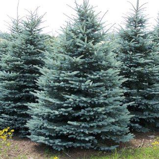 Ялина блакитна  Санта Фе  дворічна Picea pungens Santa Fe Ціна вказана за 10 саджанців