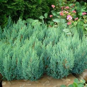 1295_juniperus-horizontalis-blue-forest