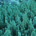 Juniperus horizontalis Blue Forest.PAWL.1