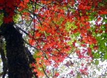 Клен моно або мілколистий Acer mono Maxim