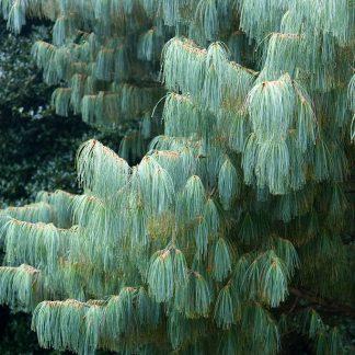 Сосна біла Арманда Pinus armandii