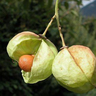 Клокичка периста Staphylea pinnata L.