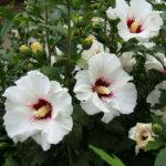 Hibiscus_syriacus_2