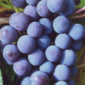 Виноград-Мускат-блю