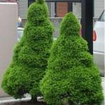 Ель канадская Коника Picea glauca Conica
