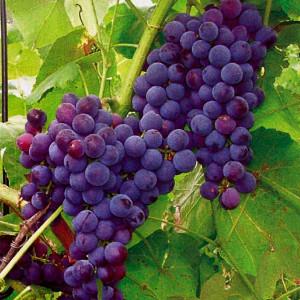 Неукрывной-сорт-винограда-Буффало