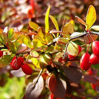 Барбарис звичайний їстівний  Bеrberis  vulgaris