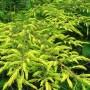 JuniperusCommunisDepressaAurea_02