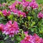 Rhododendron ferrugineum Alpine Rose Рододендрон ржавый (альпийская роза)