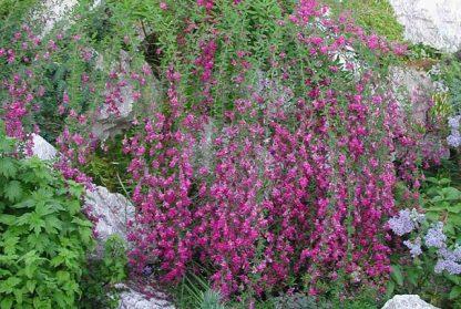 Живая изгородь или одиночная посадка! Леспедеца двуцветная   Lespedeza bicolor Цена за 1 саженец.