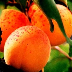 абрикорс
