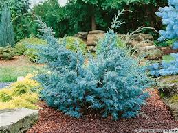 Можжевельник китайский Блю Альпс Juniperus chinensis  Blue Alps цена за 10 шт