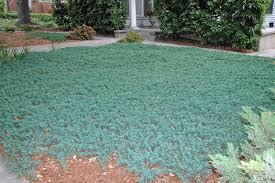 Ялівець горизонтальний  'Вілтоні' Juniperus horizontalis 'Wiltonii' Ціна вказана за 10 саджанців