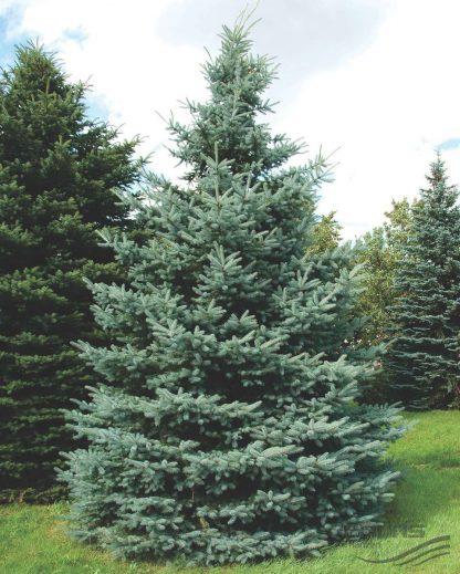 Ялина блакитна (селекція Україна) дворічна Picea pungens glauca Ukraine Ціна вказана за 10 саджанців
