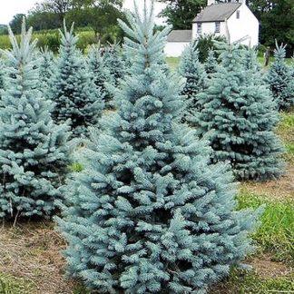 Ялина блакитна Кайбаб (селекція США) Picea Pungens Kaibab (однорічка) . Ціна вказана за 10 саджанців