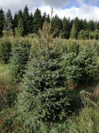 Ялина сербська дворічна Picea omorika Ціна вказана за 10 саджанців