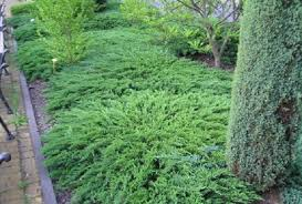 Можжевельник казацкий Тамарисцифолия Juniperus sabina Tamariscifolia цена за 10 шт.