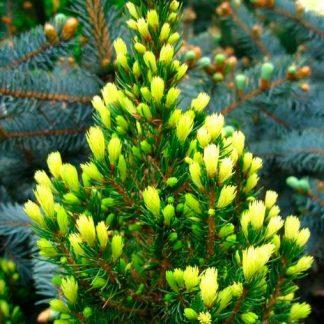 Ялина канадська Рейнбовз Енд  Picea glauca Rainbows End