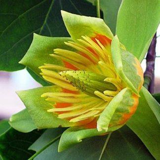 Лириодендрон тюльпановый Тюльпановое дерево Liriodendron tulipifera