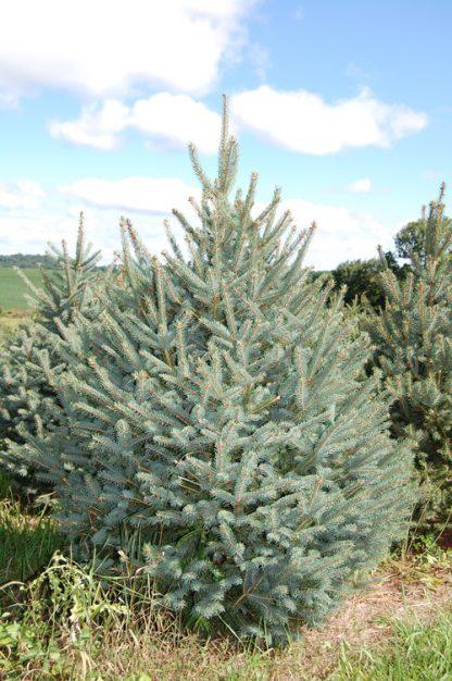 Блакитна ялина Меєра  Picea spruce meyeri Ціна вказана за 10 саджанців