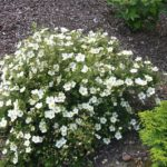 f0404f81342eee788f96e61bc8991dde--potentilla-fruticosa-photos-of