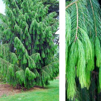 Ялина гімалайська Picea smithiana Ціна вказана за 10 саджанців