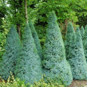 z13426140Q,Swierk-bialy--Picea-glauca---Sander-s-blue-
