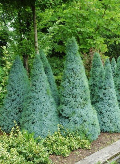 Ялина канадська Сандерс Блю Picea glauca  Sander's Blue Ціна вказана за 10 саджанців